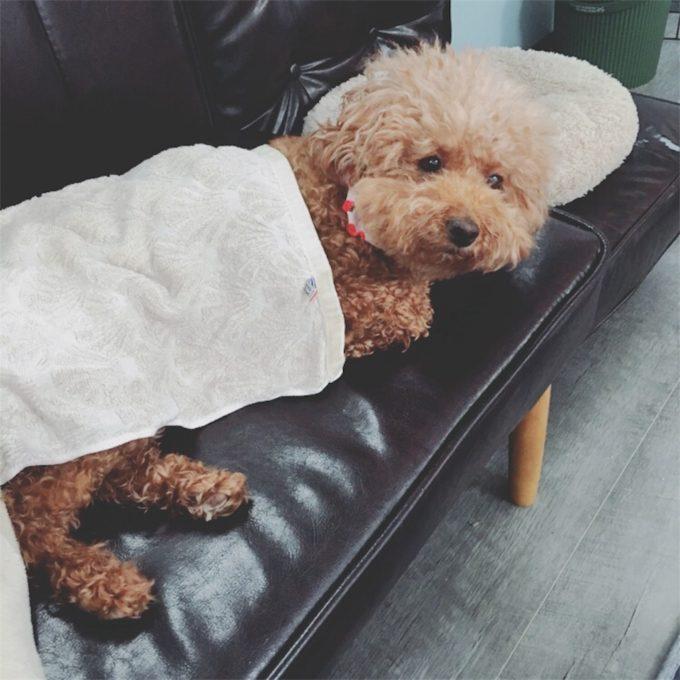 毛布をかけて寝る犬