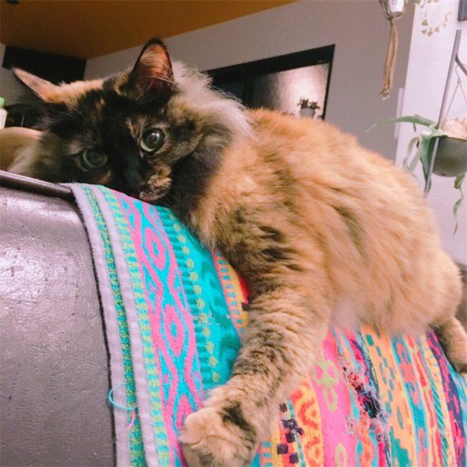 ソファにまたがるサビ猫
