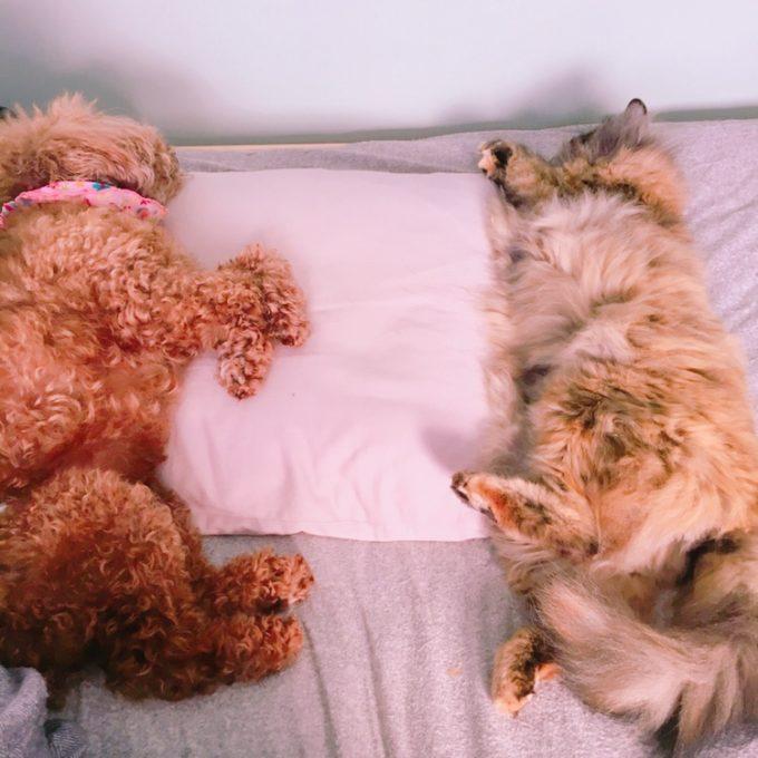 枕で寝る犬と猫