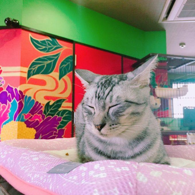 広島の保護猫カフェで昼寝する猫