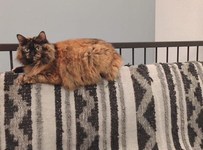 サビ猫 長毛種