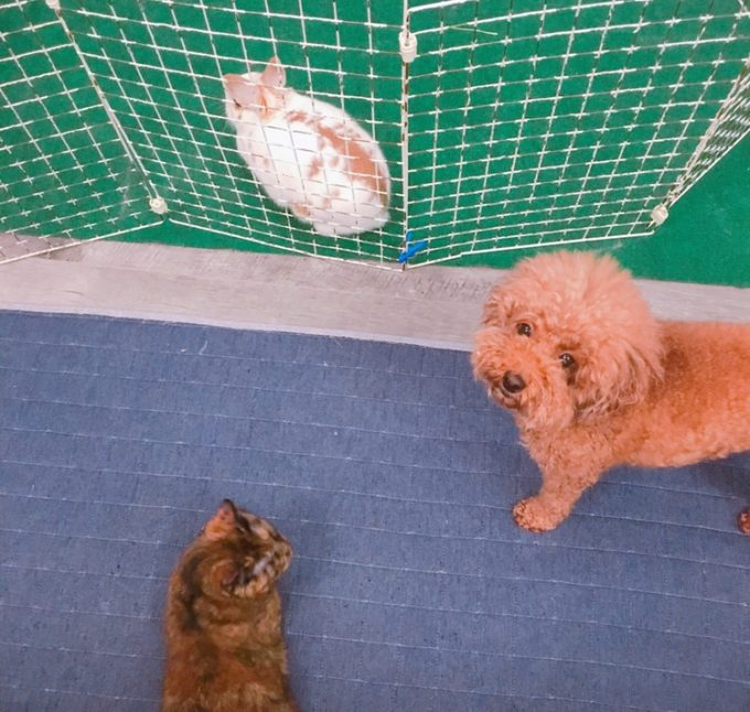 うさぎと相性の良い犬種